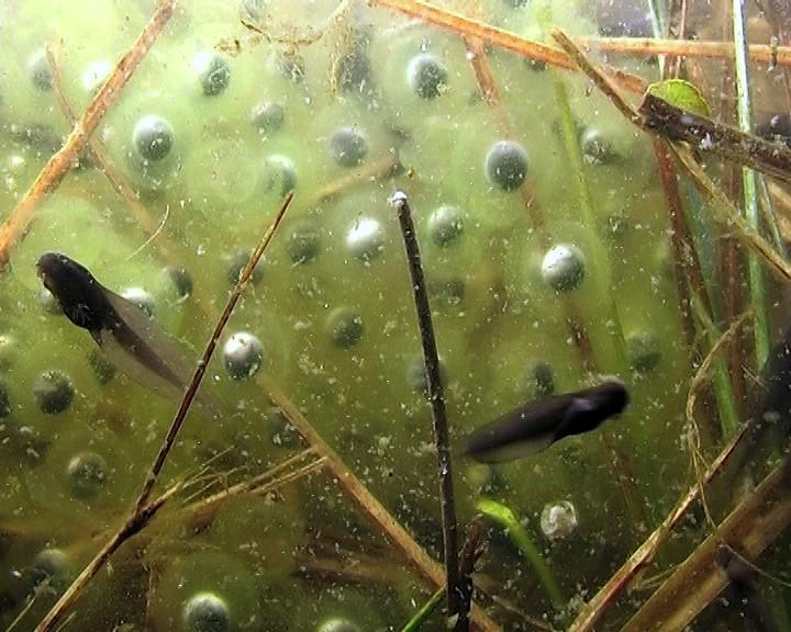 Voorjaar: kikkervisjes worden geboren