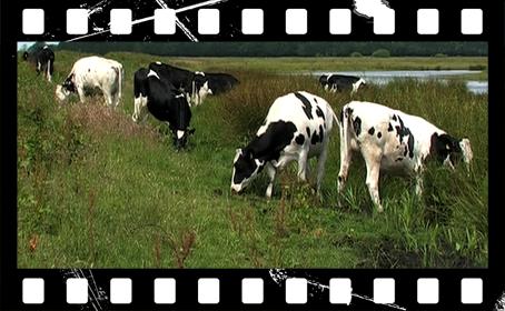 koeien-in-nederland