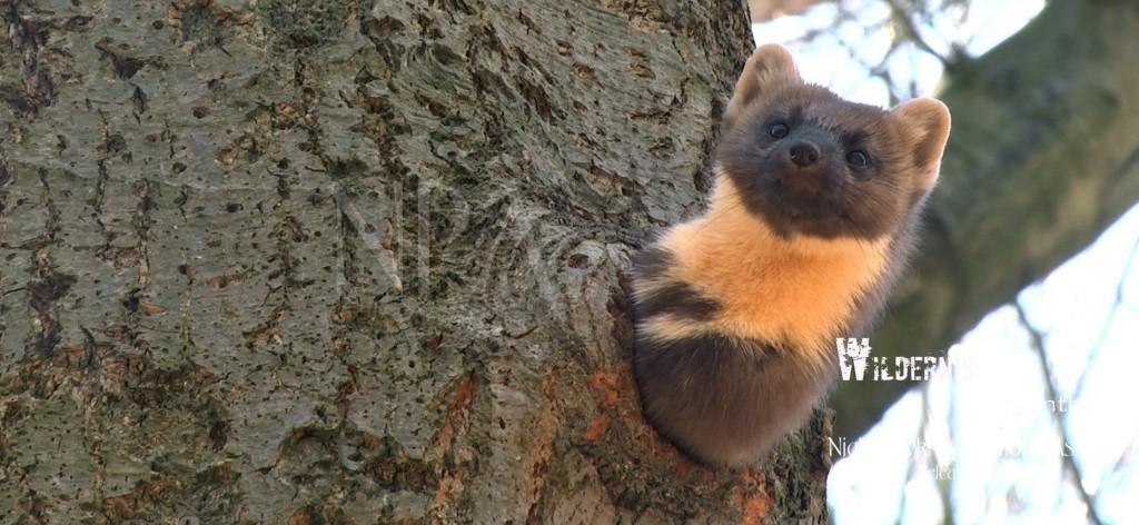 De boommarter: een van de mooiste dieren in de Drentse wildernis...