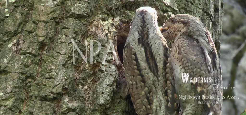 De draaihals: een geheimzinnige vogel die tot de spechtenfamilie behoord. Maar hij doet z'n uiterste best om dat te verbloemen...